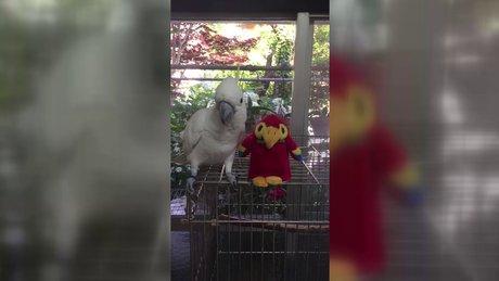Oyuncak papağanı çekemeyen papağan