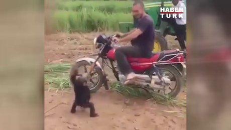 Motosikletten inince çılgına dönen maymun