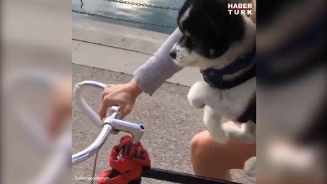 Bisiklet sürdüğünü düşünen sevimli köpek