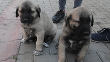 Sivas'ın Kangal köpekleri görücüye çıktı