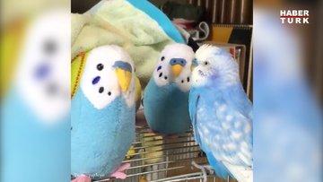 Arkadaş edinmeye çalışan muhabbet kuşunun sevimli halleri