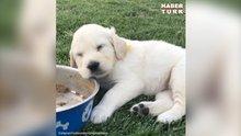 Yemekten hemen sonra uyuyakalan minik köpek