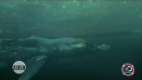 Michael Phelps, köpekbalığıyla yarıştı
