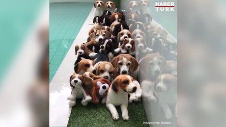 Bu köpekler kafa karıştırıyor