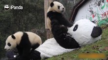 Panda kostümü giyerek pandaların arasına girdi