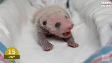 Yeni doğmuş bir pandanın 100 günü
