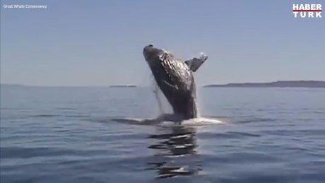 Ağa takılan balina, kendisini kurtaran aileye böyle teşekkür etti!