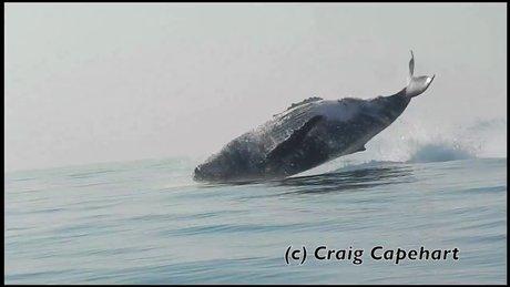 40 tonluk kambur balina böyle görüntülendi