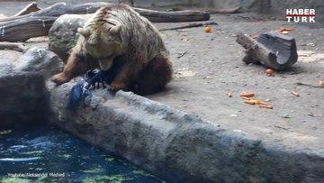 Boz ayı boğulmak üzere olan kargayı kurtardı