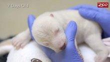 Bir kutup ayısının ilk 83 günü