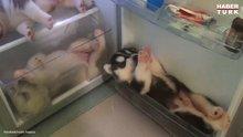Husky yavruları huzuru buzdolabında buldu