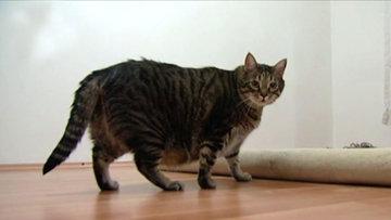 Obez kedi diyete başladı