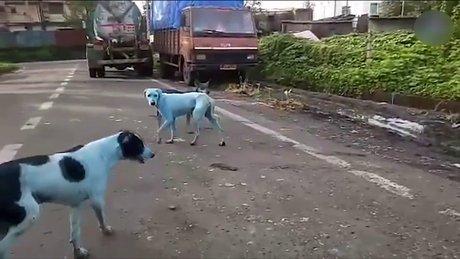 Hindistan'daki bazı köpeklerin rengi maviye döndü