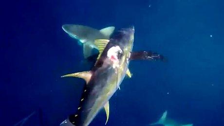 Köpek balığı sürüsüne bıçakla saldırdı!