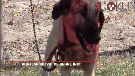 Silivri'de kurtlar, yarış atı yetiştirilen çiftliğe saldırdı