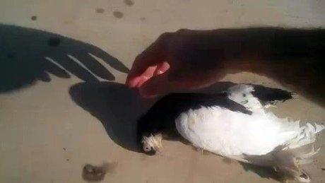 Güvercin kalp masajıyla yeniden hayata döndü