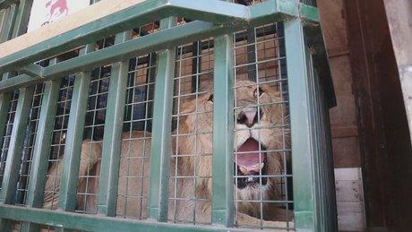 Savaş mağduru hayvanların Halep'ten Ürdün'e yolculuğu