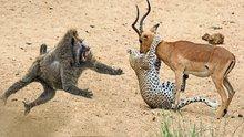 Babunlar impalayı çitanın elinden böyle kurtardı