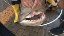 Bursa Karacabey Boğazı'nda yarım tonluk köpek balığı yakalandı