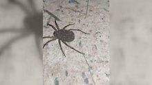 Yüzlerce yavrusunu üzerinde taşıyan örümcek kamerada