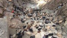 Sürü psikolojisi uçuruma sürükledi! 120 keçi telef oldu