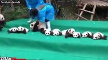 Hizaya gelmeyen 11 panda yavrusu