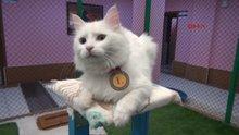 Kedi güzellik yarışmasının birincisi 'Kartopu' ilgi odağı oldu