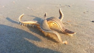 İlginç şekilde yürüyen deniz yıldızı