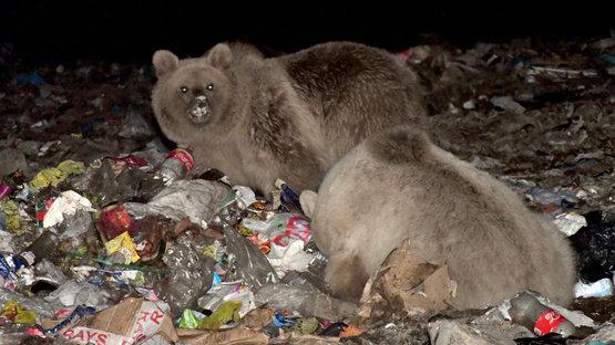 Boz ayılar dönüş yolunda