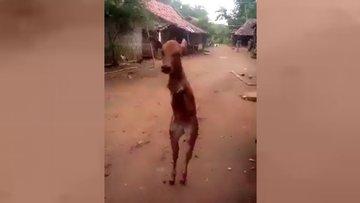 İki bacaklı ineğin yürüme azmi