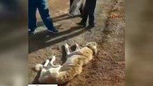 Sivas'ta açlıktan ölmek üzere olan köpek hayata döndürüldü