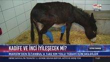 Mardin'de ayakları kırık eşekler, tedavi için İstanbul'a gönderildi