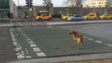 Köpek yeşil ışığı bekledi, yayalar kırmızıda geçti