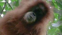 Bilim insanları yeni bir büyük insansı maymun türü keşfettiler