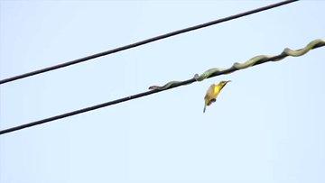 Yüksek gerilim hattında kuş avına çıkan yılan!