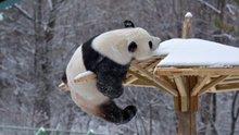 Karla oynayan sevimli pandalar kamerada!