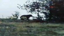 Çoban köpekleri ayıları böyle kovaladı!