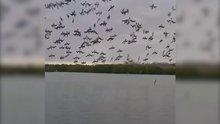 Balıkçıl kuşların senkronize dalışı!