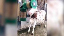 İsviçrelilerden ilginç inek yıkama yöntemi