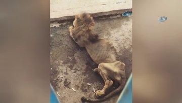 Bangladeş'teki aslanın görüntüsü yürekleri burktu