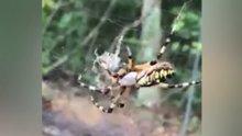Örümceğin avını yakalayıp ağına sardığı an