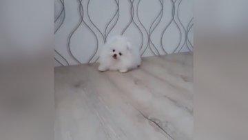 Kar beyazı minik köpekcik