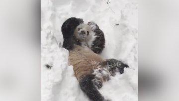 Sevimli panda karda oyun oynuyor