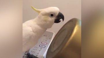 Papağanın kahkahası