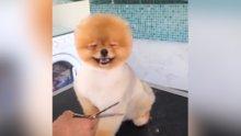 Traş edilirken mutlu olan şirin köpek