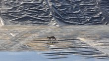 Bursa'da gölette mahsur kalan tilkiyi böyle kurtardılar
