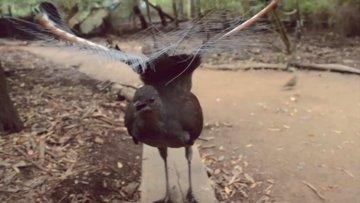 Lir Kuşu (Lyrebird)