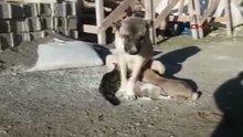 Kangal köpeği, yavru kediyi emziriyor