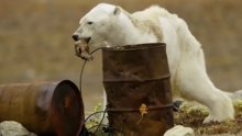 Küresel ısınma nedeniyle kutup ayısının son bulan hayatı