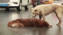 Ölen arkadaşı için hıçkıra hıçıra ağlayan köpek